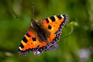 Kleiner Schmetterling Tattoo : schmetterling fuchs schmetterling schmetterling des monats juli kleiner fuchs ~ Frokenaadalensverden.com Haus und Dekorationen