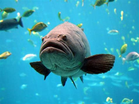 grouper goliath open huge overfished majestic fish species openlearn overfishing edu natural sea nature