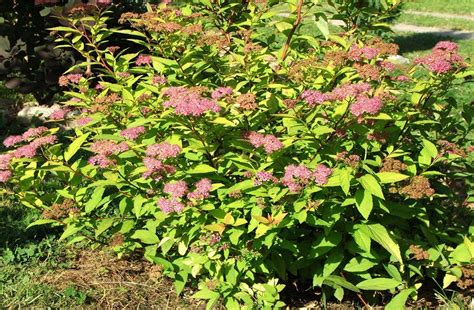 spirea shrub pictures goldmound spirea maples n more nursery
