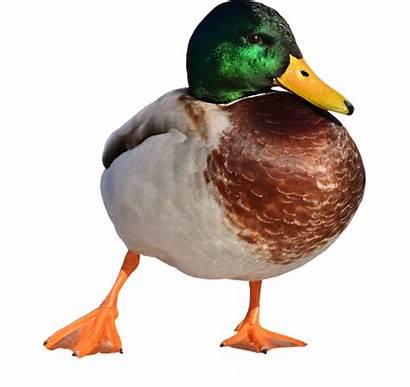 Duck Mallard Animals