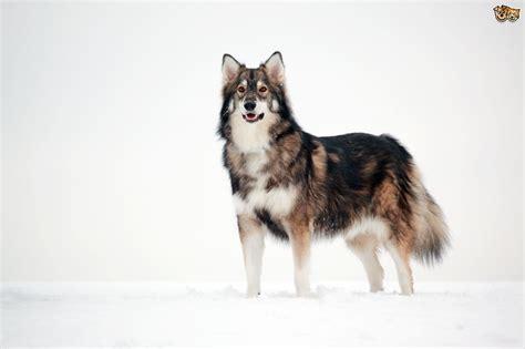 No Shedding Dog Breed by Utonagan Dog Breed Information Buying Advice Photos And