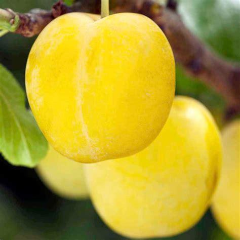 plum tree yellow pershore plum trees fruit trees