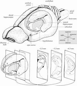 Diagram Of The Rat Hippocampus  Drawings Of The Rat Bra