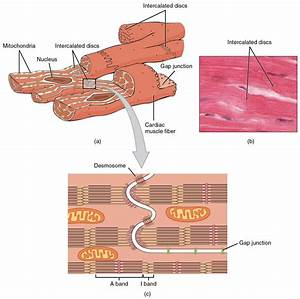 Cardiac Muscle And Electrical Activity