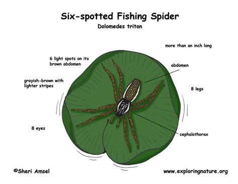 Spider Egg Diagram by Spider Six Spotted Fishing