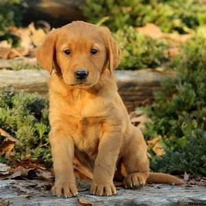 Golden Labrador Puppies For Sale | Greenfleid Puppies