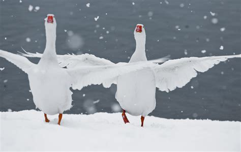 oche da cortile oche sotto la neve foto immagini animali animali