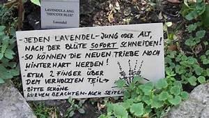 Verholzten Lavendel Schneiden : echter lavendel duftlavendel pflege schneiden ~ Lizthompson.info Haus und Dekorationen