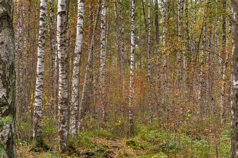 birch forest photo 1669 20 birch forest in eastern part of sosnovka park st petersburg russia
