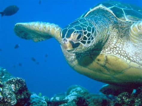 The Hawaiian Green Turtle