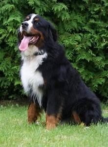 Berner Sennenhund Gewicht : berner sennenhund hund wesen erziehung und eigenschaften ~ Markanthonyermac.com Haus und Dekorationen