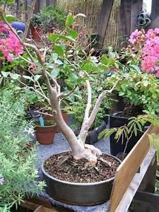 Taille Du Lilas Des Indes : bonsa cr ation fiche d 39 entretien du lilas syringa ~ Nature-et-papiers.com Idées de Décoration