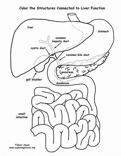 Liver Coloring Organs Labeled Function Sheets Pancreas