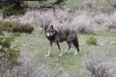 grey wolf photo credit rocky mountain wolf project 2400