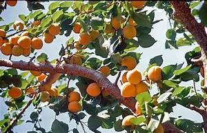 Wann Schneidet Man Apfelbäume : marillen aprikosen ben tigen einen lockeren aufbau ~ Lizthompson.info Haus und Dekorationen