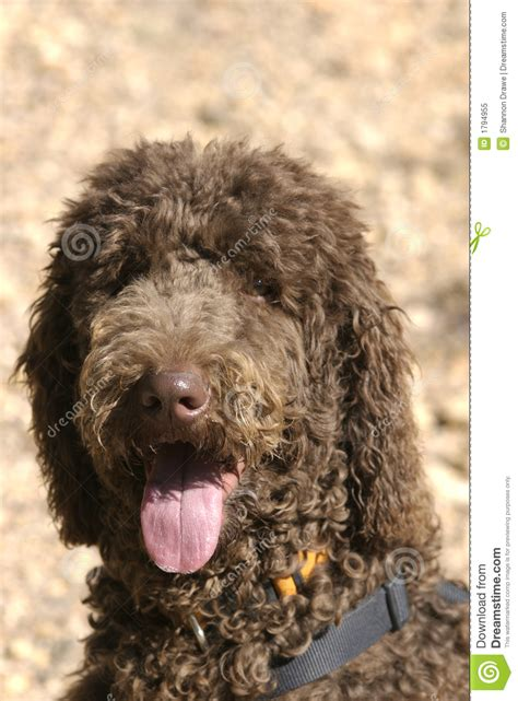 chocolate brown standard poodle royalty  stock photo