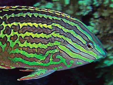red sea leopard wrasse    species