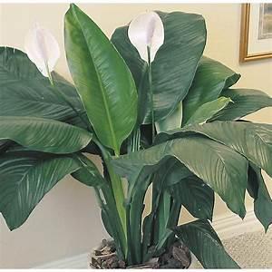 Shop Sensation Peace Lily (L3943HP) at Lowes com