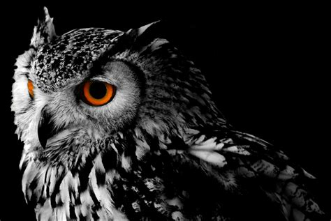 Black Owl Wallpapers by Owl Hd Wallpaper Background Image 2800x1874 Id