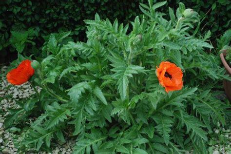 pics of poppy plants poppy plant jpg hi res 720p hd