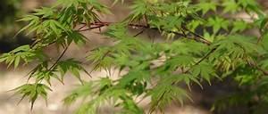 Erable Du Japon Entretien : la taille de l 39 rable du japon d 39 entretien en bonsa ou ~ Nature-et-papiers.com Idées de Décoration