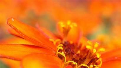Orange Flowers Macro Wallpapers Desktop Sfondi Arancio