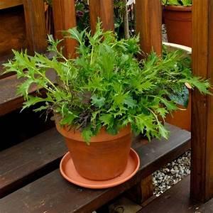 Dipladenia Gelbe Blätter : salat s en beet oder balkon salat s en pflegen und fast das ganze salat pflanzen s en und ~ Udekor.club Haus und Dekorationen