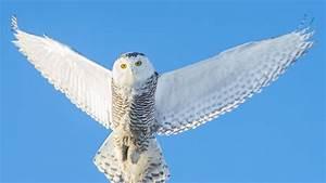 Wallpaper owl, flying, wings, Snowy owl in flight.
