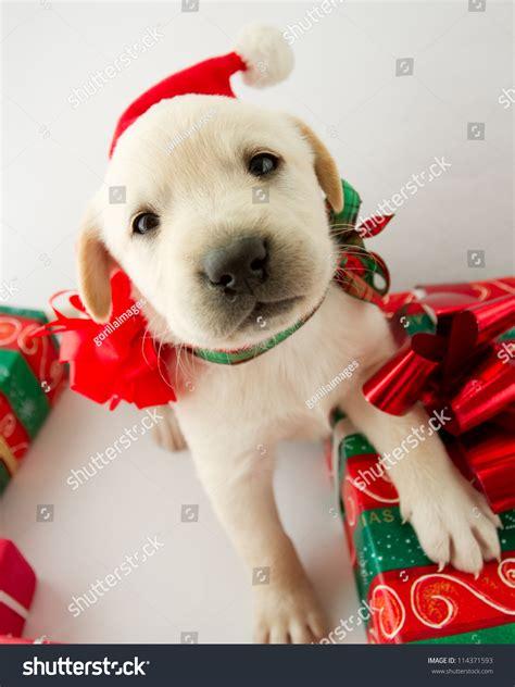 merry christmas portrait cute labrador puppy 114371593