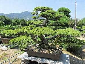 Avocado Baum Pflege : bonsai baum geschichte arten pflege tipps ~ Orissabook.com Haus und Dekorationen