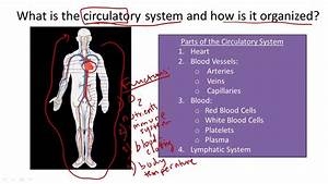 Circulatory System Structure And Function