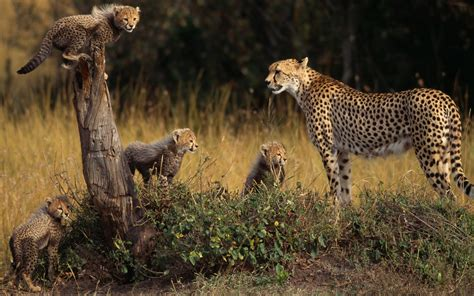 Animal Cubs Wallpapers - animals cheetahs cubs baby animals wallpapers hd