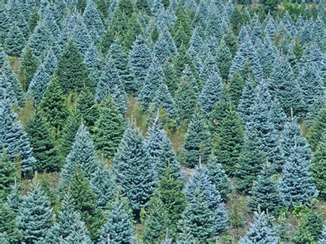 holiday tree farm local tree farms gig harbor wa patch
