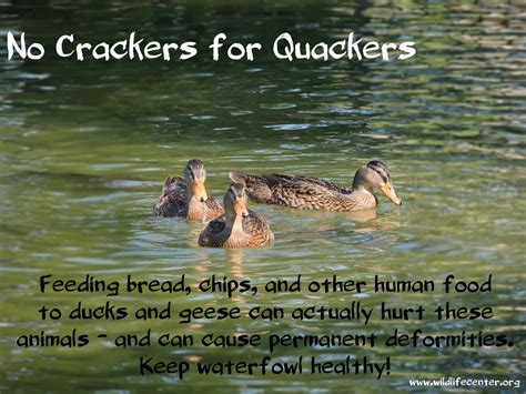 the problem with feeding ducks the wildlife center of
