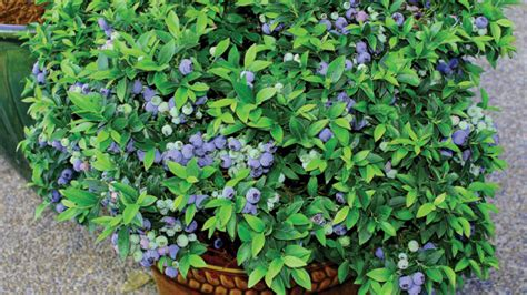 10 easy tips for growing blueberries in containers or pots the self sufficient living