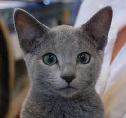 russian blue cat price russian blue kittens