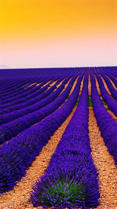 wallpaper lavender fields sunset landscape valensole