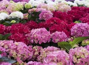 Hortensien Schneiden Video : hortensien schneiden der schwierige schnitt ~ Lizthompson.info Haus und Dekorationen