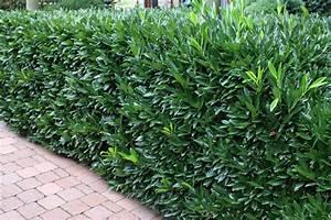 Schnellwachsende Pflanzen Als Sichtschutz : pflanzen f r form und schnitthecken native plants ~ Whattoseeinmadrid.com Haus und Dekorationen