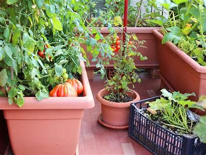 Container Vegetables Gardening Vegetable Containers Growing Veggies