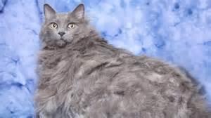 huge feline king leo bids to shed some of its 30lb bulk by