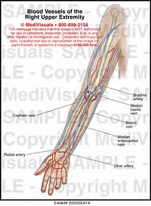 Blood Vessels Of The Right Upper Extremity Medical Illustration