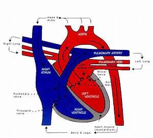 Cat Manuals    Blue3main Genevieve  Circulatory Sysytem