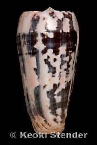 hawaiian striated cone conus pionoconus striatus oahuensis