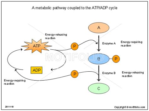 download powerpoint template metabolic free adp powerpoint template a metabolic pathway coupled to the