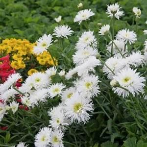 Garden Daisy Va... Daisy