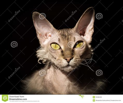 bold cat bold cat with yellow eyes on black backgound stock photography image 35088492
