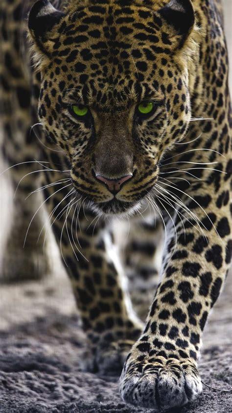 Jaguar Animal Iphone Wallpaper - jaguar iphone wallpaper iphone wallpapers