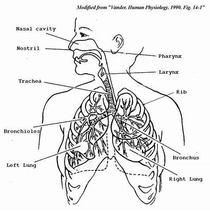 System Respiratory Coloring Human Drawing Pages Organs