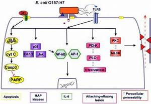Host Signal Transduction Pathways Affected By Enterohemorrhagic